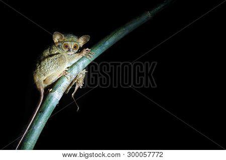 Spectral Tarsier, Tarsius Spectrum, Portrait Of Rare Endemic Nocturnal Mammal Eating Grasshopper, Sm