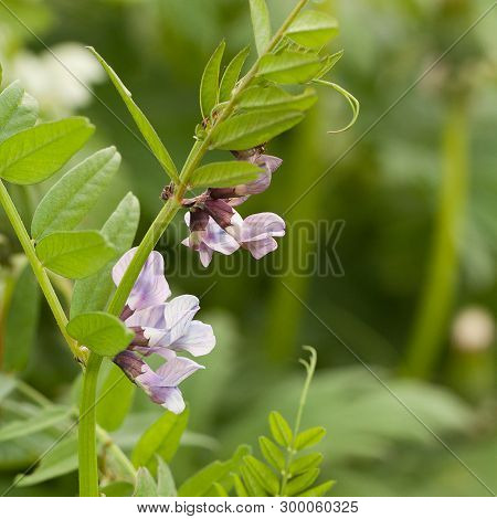 Clambering Flower With Beautiful Lilac Flowers And Leaves