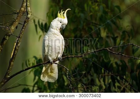 Cacatua Galerita - Sulphur-crested Cockatoo Sitting On The Branch In Australia. Big White And Yellow