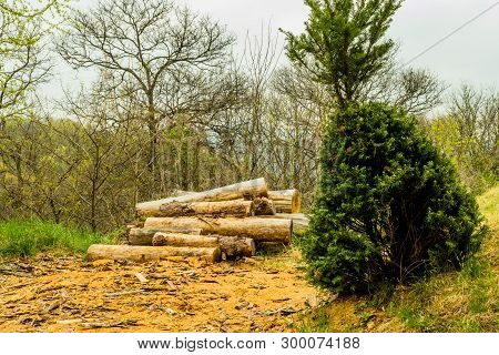 Small Pine Tree Growing At An Angle On Hillside In Front Of Freshly Cut Logs In Mountainside Wildern