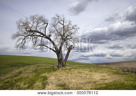 Dramatic Photo Of Barren Tree In A Field. A Lone Barren Tree Stands By A Farm Field In The Palouse R