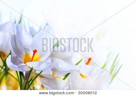 Art Beautiful Spring White Crocus Flowers On White Background