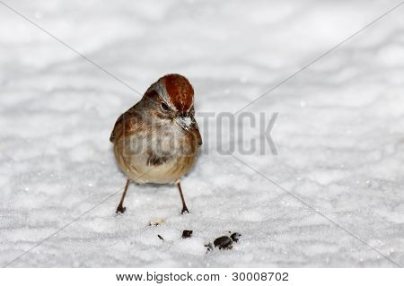 Sparrow Standing In The Snow