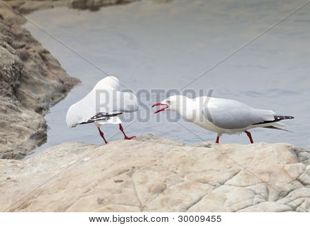 Red-Billed Gulls fighting