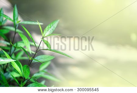 Green Leaves And Nature Background Concept - Blurred Beautiful Green Leaves  Background In Garden Wi