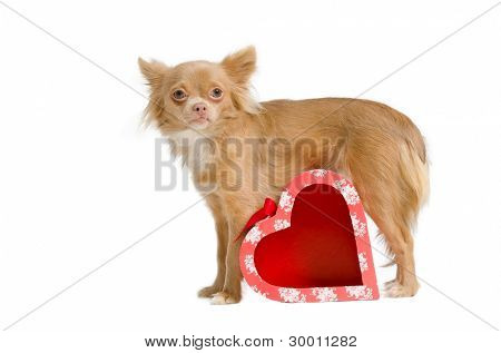Chihuahua puppy with red heart shaped present box