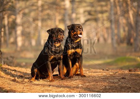 Two Dogs Of Breed A Rottweiler On A Walk Together A Beautiful Portrait