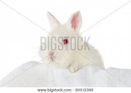 white baby rabbit isolated