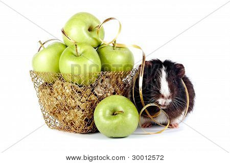 Guinea Pigs With apples In A Gold Basket