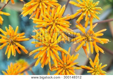 Aloe Maculata.a Close-up Flowers With Selective Focus Soft Bokeh Background