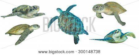 Sea Turtles isolated on white background