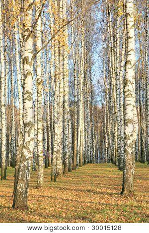 Autumn Birch Grove In Sunlight