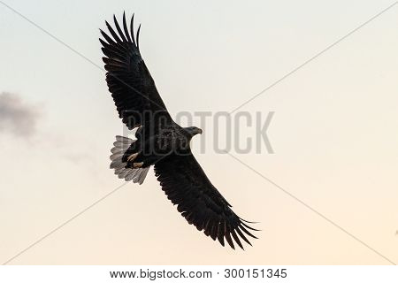 White-tailed Eagle In Flight, Eagle Flying Against Colorful Sky With Clouds In Hokkaido, Japan, Silh