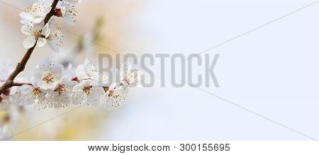 Springtime Sunny Day Floral Mockup With Blooming White Flowers Fruit Tree Branch. Soft Light Natural