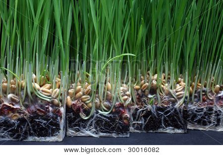Growth wheat