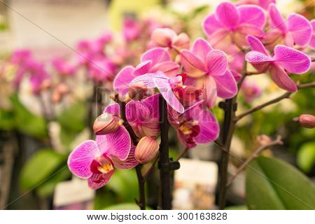 Beautiful Pink Orchid Flowers In Bloom With Soft Background