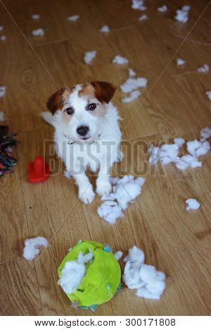 Funny Dog Mischief. Guilty Jack Russell Destroyed A Fabric And Fluffy Ball And Toys At Home. High An