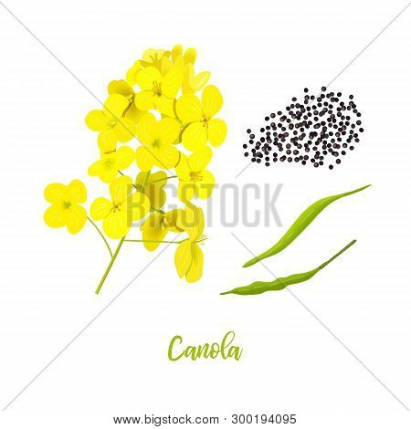 Canola Or Colza. Flowers, Seeds, Leaf. Rapeseed Blossom Isolated On White. Brassica Napus. Blooming