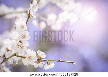 Branches Of Blooming Sakura Branches In Spring. White Flowers. Blue Backgound. Postcard View