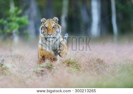 Attacking Amur Tiger From Front. Siberian Tiger Jumping In Wild Taiga. Siberian Tiger, Panthera Tigr