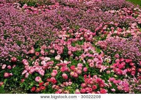 Field of pink flowers