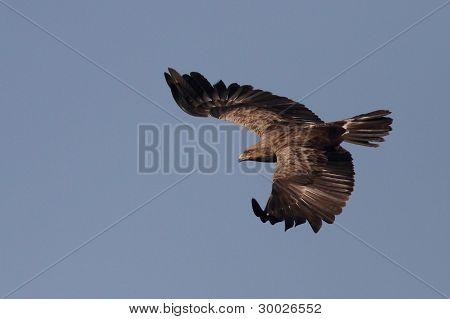 Orel křiklavý (Aquila pomarina)