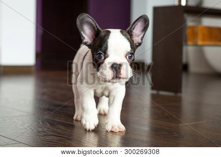 French bulldog puppy in the living room