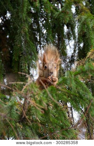 Squirrel Sitting On A Pine Branch, Omsk Region, Siberia, Russia