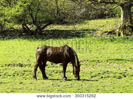 Horse Latin Name Equus Ferus Caballus Grassing In A Field