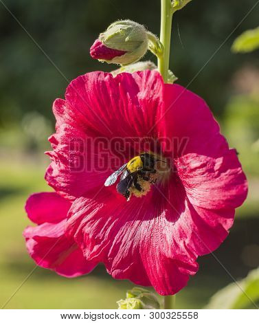 Close-up Detail Of A Red Hibiscus Rosa Sinensis Flower Petals And Stigma In Garden With Bumble Bee