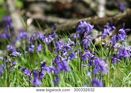 A Sea Of Native Bluebell Flowers In A Woodland
