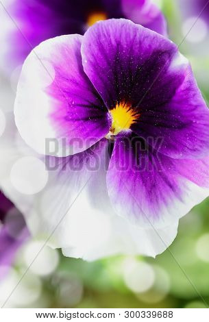 Up Close Macro Of A Purple And White Pansy With Bokeh And Blurred Background. Selective Focus On Cen