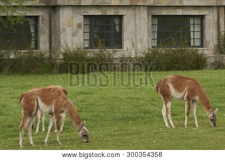 Guanaco (lama Guanicoe) Grazing In Front Of A Stone Building In Valle Chacabuco, Northern Patagonia,