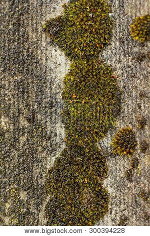 Moss On The Roof Surface After The Rain. Gray Slate, Visible Flowering Moss. Macro.