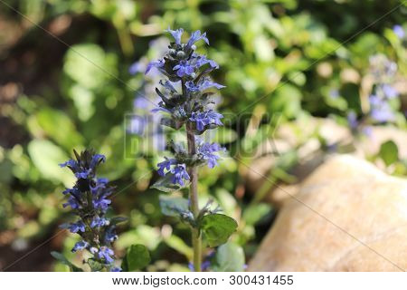 Spring Flowers, Ajuga Reptans, Bugle. Ajuga Reptans Is A Sprawling Perennial Plant With Erect Flower