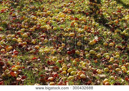 Many Fallen Apples In Green Grass. Autumn Background