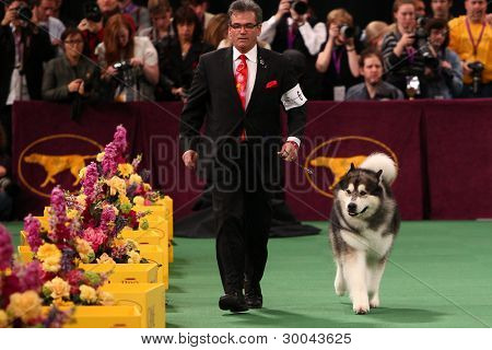 NEW YORK - FEBRUARY 14: The Alaskan Malamute  performs at the Westminster Kennel Club Dog Show on February 14, 2012 in New York City.