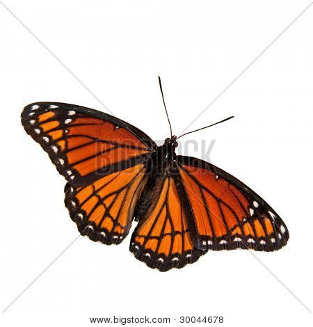 Limenitis archippus, Viceroy butterfly, isolated on white