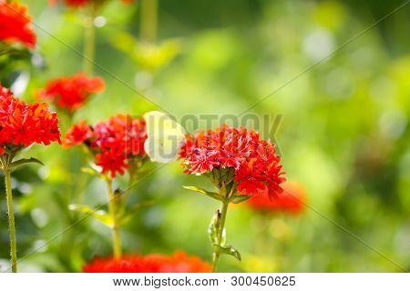 Butterfly Limonite, Common Brimstone, Gonepteryx Rhamni On The Lychnis Chalcedonica Blooming Plant O