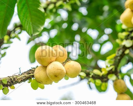 Fresh Wollongong Fruits Hanging On Tree In The Garden With Nature Background.