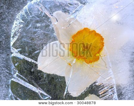 Narcissus  In Ice