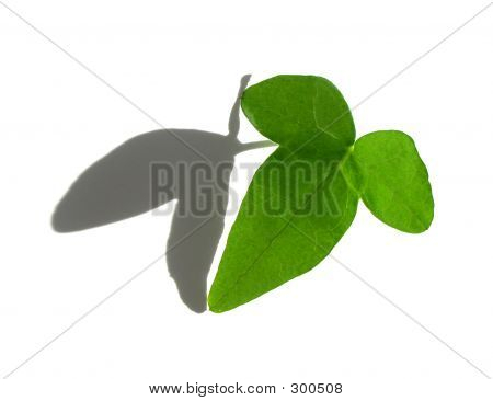 Isolated Green Ivy Leaf On White