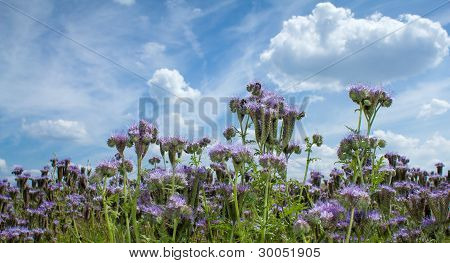 Summer Scenery With Purple Lucerne Field And Bumble Bee