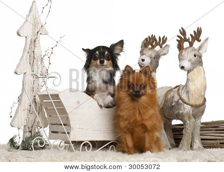 Chihuahua, 3 years old, and German Spitz, 2 years old, in Christmas sleigh in front of white background