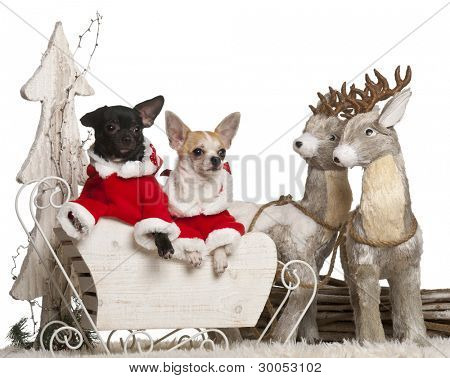 Chihuahua, 7 months old, and Chihuahua, 8 months old, in Christmas sleigh in front of white background