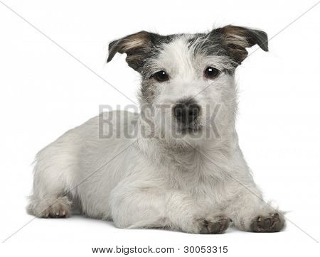 Mixed-breed dog, 7 months old, lying in front of white background