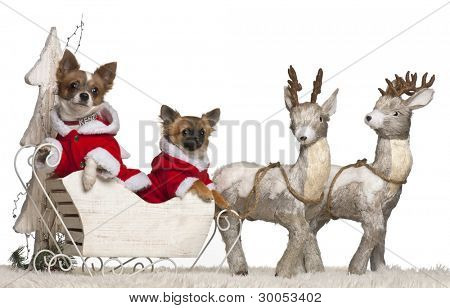 Chihuahua, 2 years old, and Chihuahua puppy, 3 months old, in Christmas sleigh in front of white background