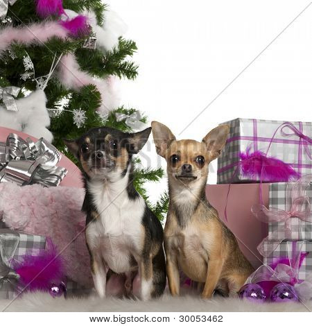 Chihuahuas, 2 years old, with Christmas tree and gifts in front of white background