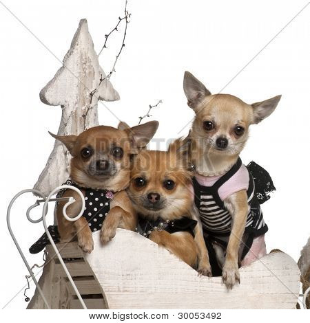 Chihuahuas, 3 years old and 1 year old, in Christmas sleigh in front of white background