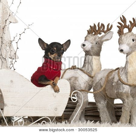 Chihuahua, 2 years old, in Christmas sleigh in front of white background